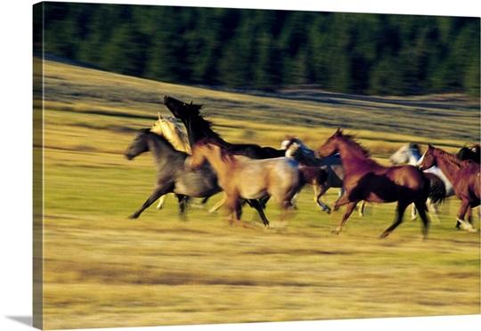 Herd of horses running, Oregon, united states,