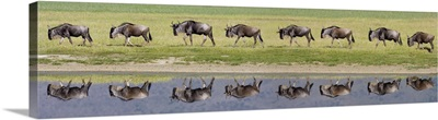 Herd of wildebeests walking in a row along a river, Ngorongoro Crater, Ngorongoro Conservation Area, Tanzania