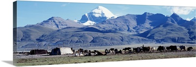 Herd of yak and tents in front of mountains, Tibet