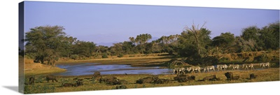 Herd of Zebra (Equus grevyi) and African Buffalo (Syncerus caffer) in a field, Uaso Nyrio River, Samburu, Kenya