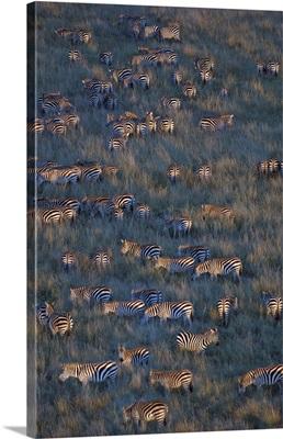 Herd of zebras grazing in a field, Masai Mara National Reserve, Kenya (Equus burchelli chapmani)