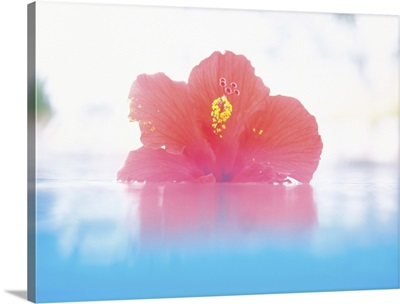Hibiscus floating in water
