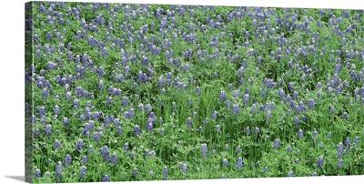 High angle view of a grassy field, Texas Blue Bonnets, Austin, Texas
