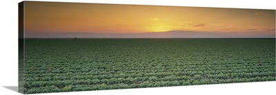 High angle view of a lettuce field at sunset, Fresno, San Joaquin Valley, California