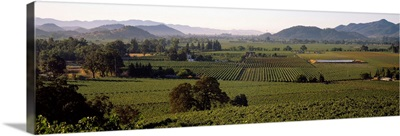 High angle view of a vineyard, Geyserville, California