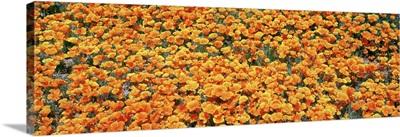 High angle view of California Golden Poppies (Eschscholzia californica), Antelope Valley California Poppy Reserve, California