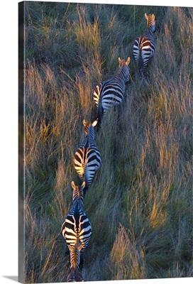 High angle view of five Zebras walking in a row, Masai Mara National Reserve, Kenya
