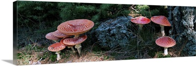 High angle view of Fly Agaric mushrooms, French Riviera, France