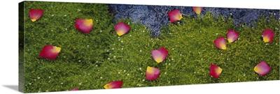 High angle view of rose petals on Irish moss, Boise, Idaho, (Chondrus crispus)