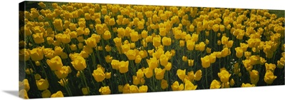 High angle view of yellow tulips in a field, Holland, Michigan