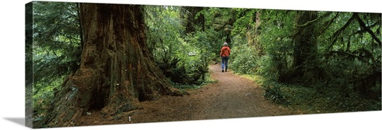 Hiker walking in a forest, Redwood Forest, California