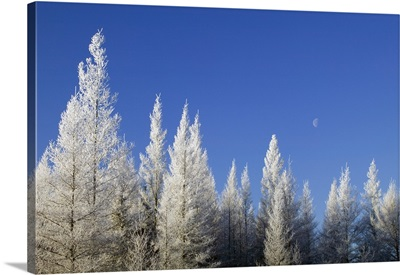 Hoarfrost on tamarack trees, blue sky, Red Lake Wildlife Management Area, Minnesota