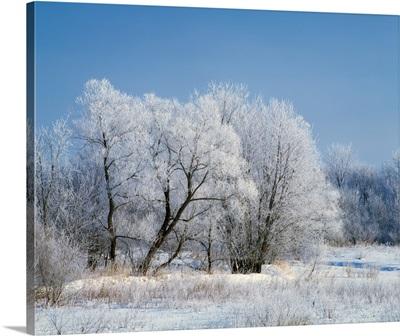 Hoarfrost on trees, Iowa