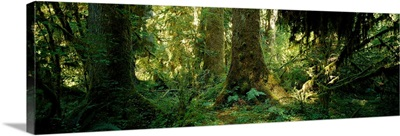 Hoh Rain Forest Olympic National Park Washington