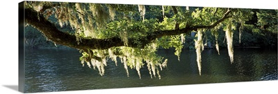 Icicles formation on tree branches, Middleton Place, Charleston, Charleston County, South Carolina,