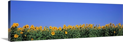 Illinois, Marion County, View of blossoms in a Sunflower field