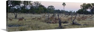 Impalas running from leopard at dusk, Chitabe, Okavango Delta, Botswana