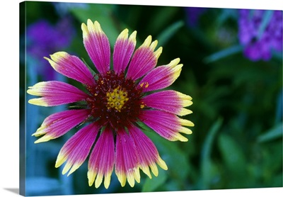 Indian blanket flower in bloom, close up, Michigan