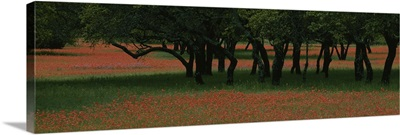 Indian paintbrush flowers and Oak trees in a park, Texas