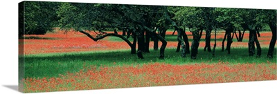 Indian Paintbrushes & Scattered Oaks Texas Hill Co TX