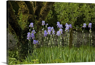 Iris and Old Espallier Apple Tree, Lismore Castle, County Waterford, Ireland