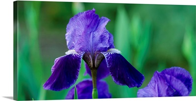 Iris CA