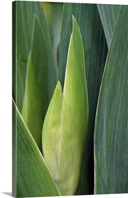 Iris flower (Iris germanica) bud and leaves, close up.