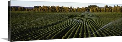Irrigated bush bean field St Paul OR