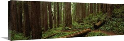 Jedediah Smith State Park CA