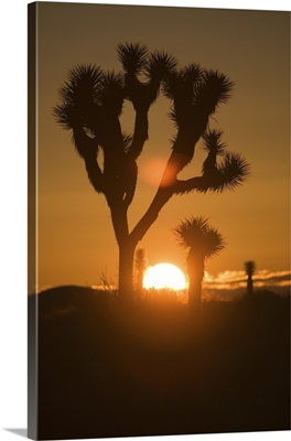 Joshua Trees Silhouetted At Sunset