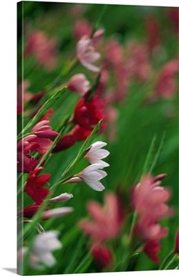 Kaffir Lily Flowers In Bloom