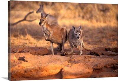 Kangaroos in the Desert