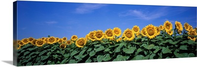 Kansas, Bogue, sunflowers