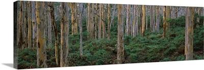 Karri Trees in a forest, Caves Road, Boranup Forest, Leeuwin Naturaliste National Park, Western Australia, Australia