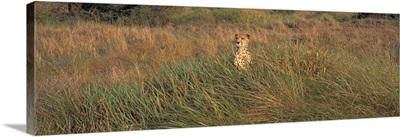 Kenya, Masai Mara National Park, View of a Cheetah camouflaged in a grassland