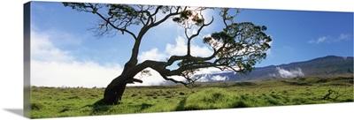 Koa tree on a landscape, Mauna Kea, Big Island, Hawaii