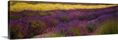 Lavender and Yellow Flower fields, Sequim, Washington