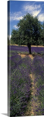 Lavender crop in a field, Provence, Provence Alpes Cote dAzur, France