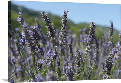 Lavender field, Abbaye De Senanque, Provence Alpes Cote dAzur, France