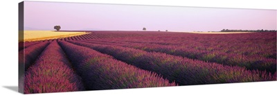 Lavender Field France