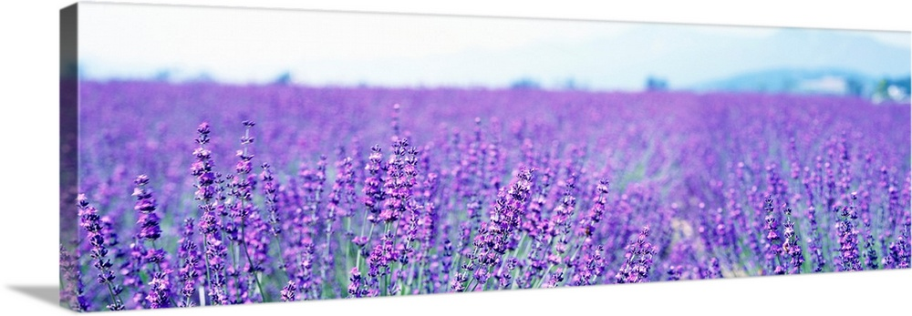 Lavender Field Japan