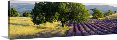 Lavender flowers in a field, Drome, Provence, France