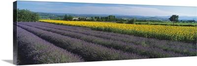 Lavender & sunflower field Provence France