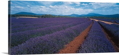 Lavender Tasmania Australia