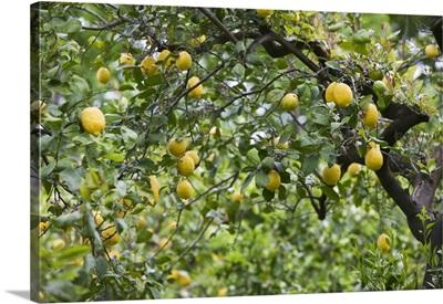 Lemons growing on a tree, Sorrento, Naples, Campania, Italy