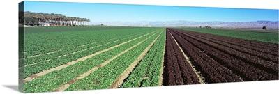 Lettuce crop in a field, Indio, Coachella Valley, Riverside County, California,