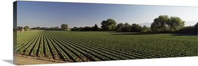 Lettuce Field Salinas Valley CA