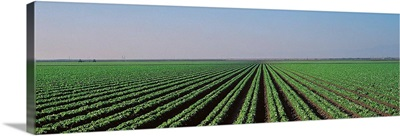 Lettuce field San Joaquin Valley Fresno CA