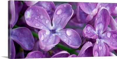 Lilacs CA