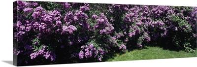 Lilacs MI